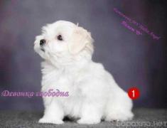 Продам: щенки Мальтезе в Санкт-Петербурге