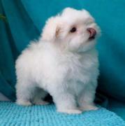 Продам: щенок мальтезе в Санкт-Петербурге