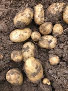 Quality seed and ware potatoes